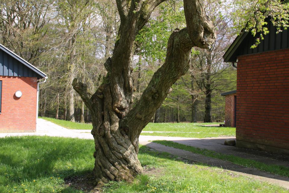 Заколдованная вишня, Скивхольме (Skivholme Præsteskov), Дания. 9 мая 2021