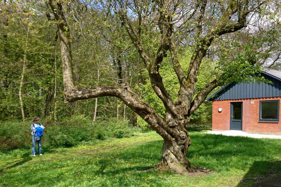 Заколдованная вишня около домика спайдеров. Фото 9 мая 2021, Скивхольме, Дания