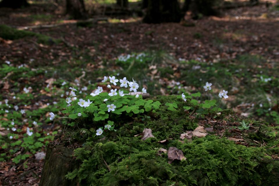 Мох и кислица на старом пне в лесу Скивхольме, Дания. Фото 9 мая 2021