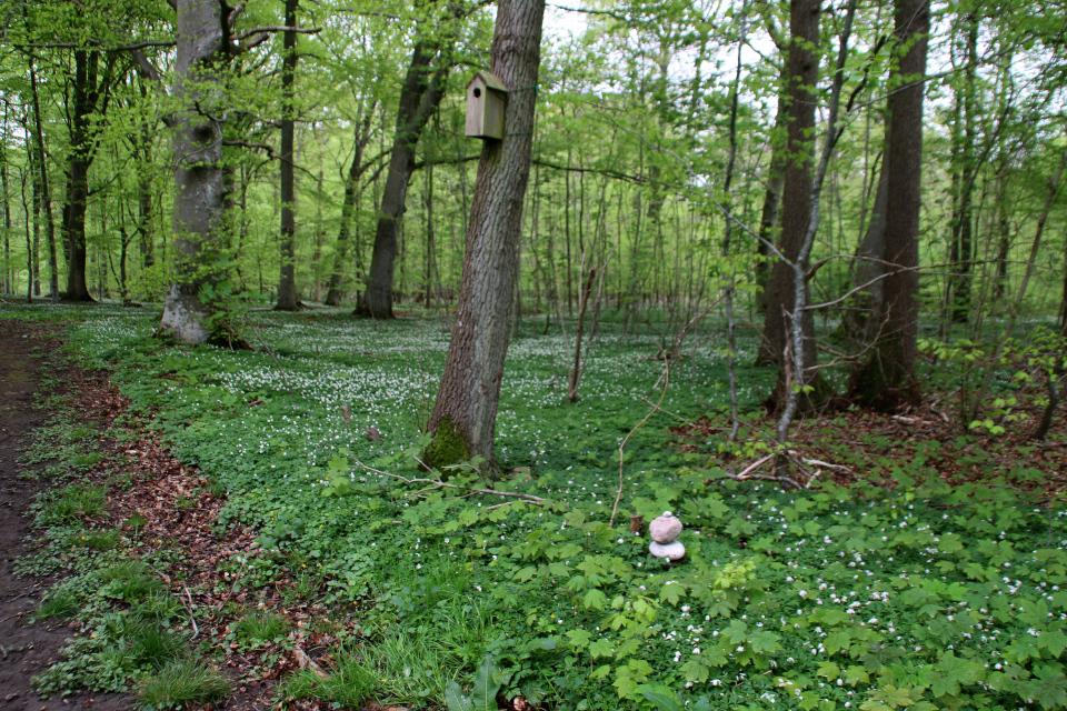 Прорастает клён белый в лесу Скивхольме, Дания. Фото 13 мая 2021