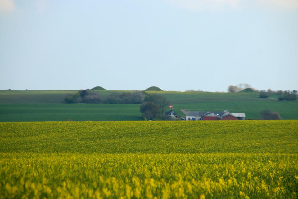 Вид с дороги на поля с рапсом и на курганы Борум Эсхой на горизонте. Фото 9 мая 2021, Скивхольме, Дания