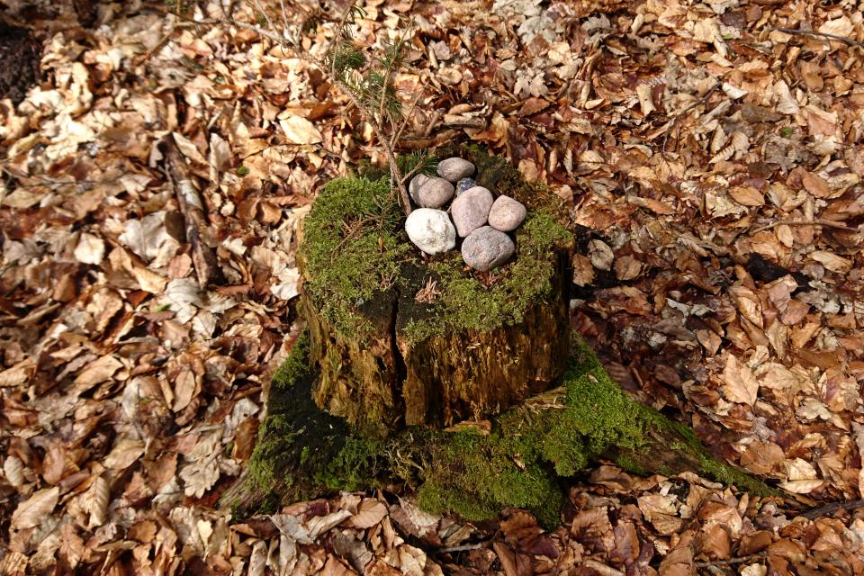 Ель ситхинская прорастает на старом пне, украшенным камнями. Фото 9 мая 2021, Скивхольме, Дания