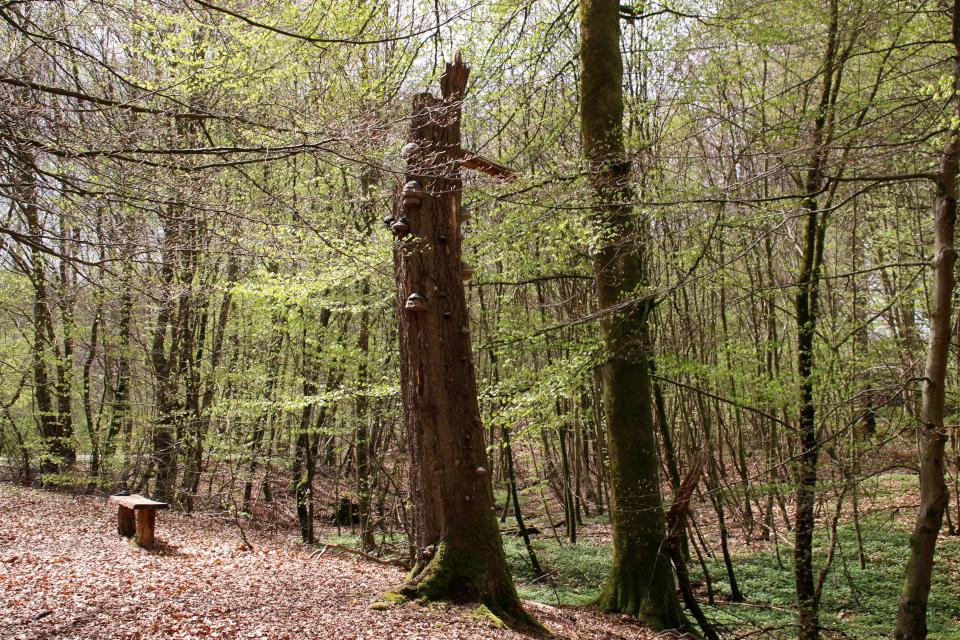 Трутовик на старом стволе дерева. Фото 9 мая 2021, Скивхольме, Дания