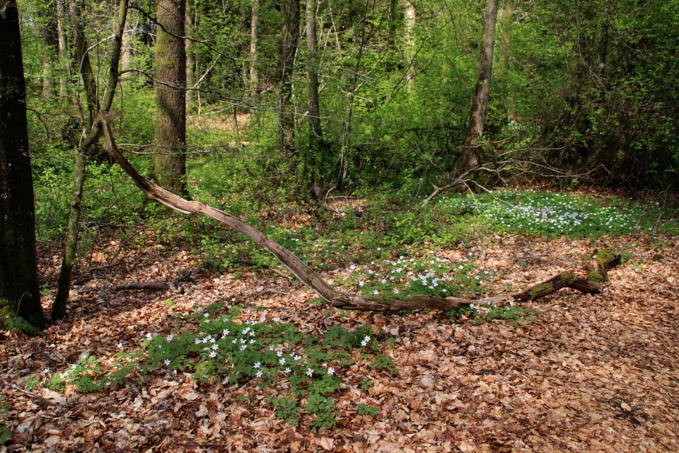 В буковом лесу. Фото 9 мая 2021, Скивхольме, Дания