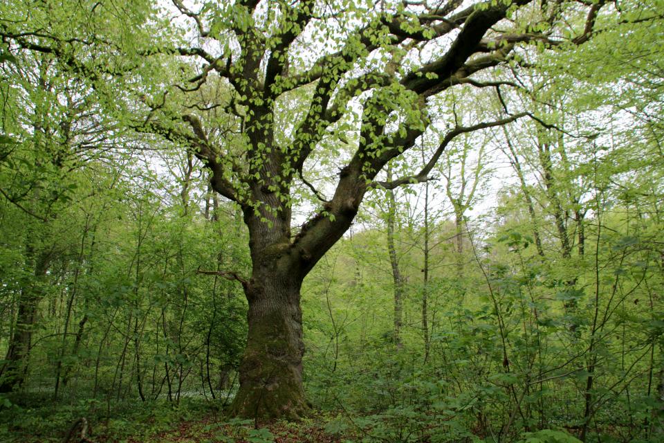 Дуб черешчатый в буковом лесу. Фото 13 мая 2021, Скивхольме, Дания