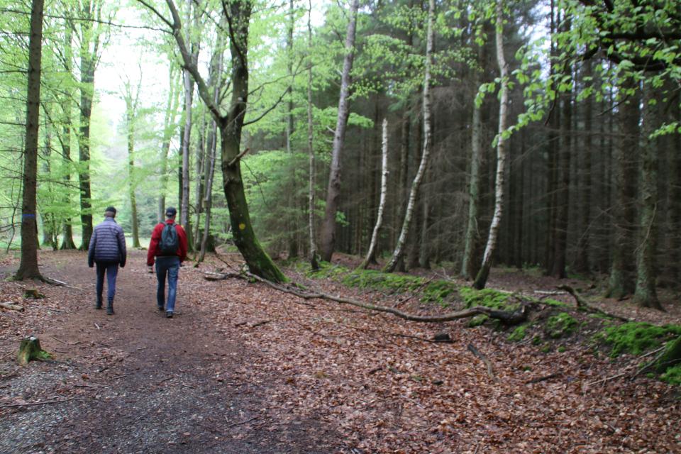 Старая лесная ограда в лесу Скивхольме, Дания. Фото 13 мая 2021