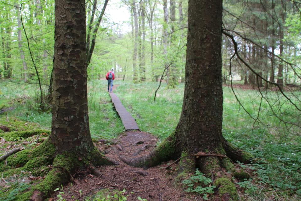 Портал из елей в лесу Скивхольме, Дания. Фото 13 мая 2021