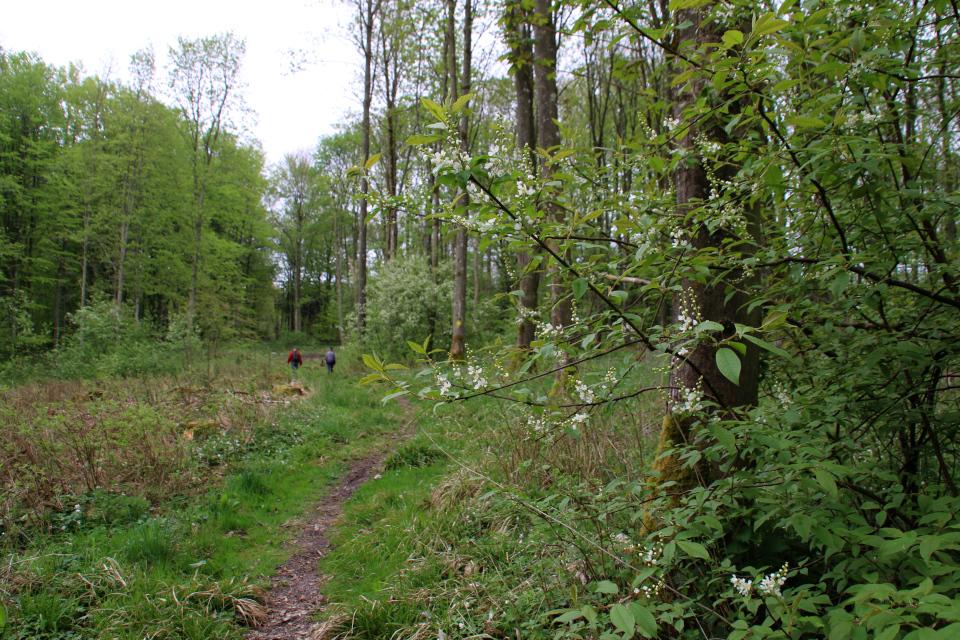 Черемуха на месте вырубки леса. Фото 13 мая 2021, Скивхольме, Дания