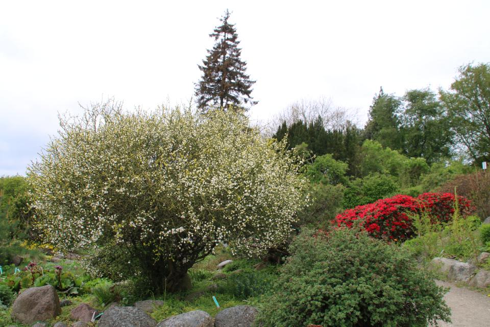 Понцирус трeхлисточковыйй в ботаническом саду г. Орхус, Дания. Фото 18 мая 2021