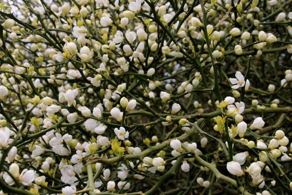 Цветы понцируса. Ботанический сад Орхус 18 мая 2021, Дания