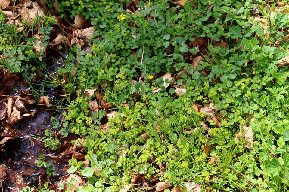 Чистяк весенний и селезеночник возле ручья в лесу Скивхольме, Дания. Фото 13 мая 2021
