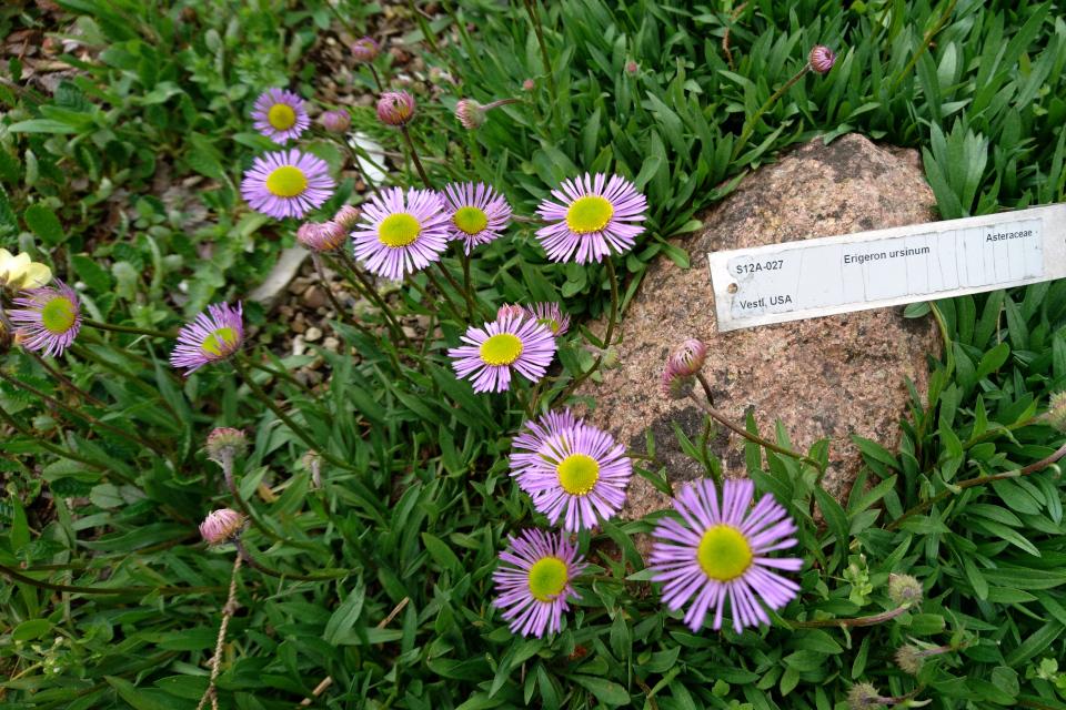 Эригерон урсинус в ботаническом саду г. Орхус, Дания. Фото 18 мая 2021