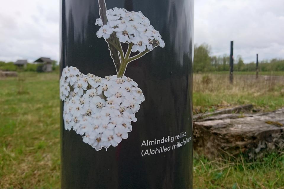 Тысячелистник обыкновенный (дат. Almindelig røllike, лат. Achillea millefolium). Эскелунден, Вибю /Eskelunden, Viby Дания. 5 мая 2021