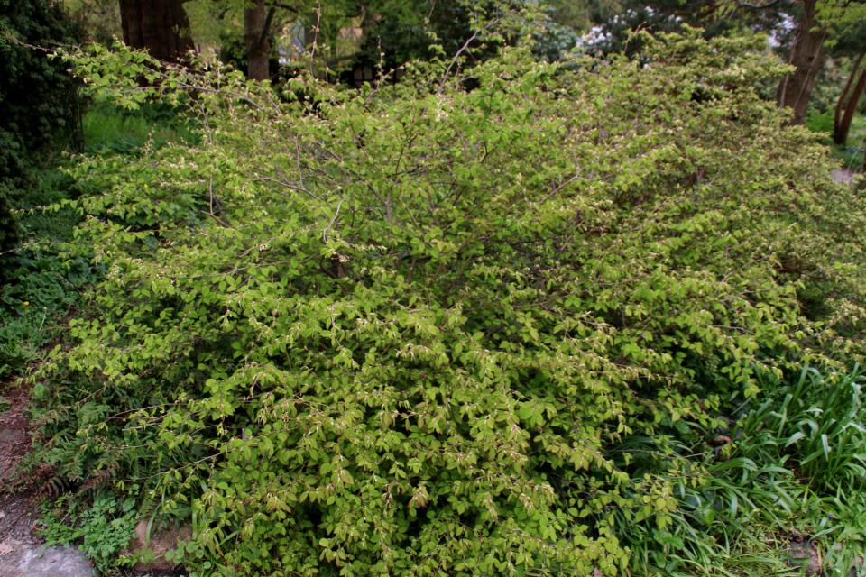 Корилопсис. Ботанический сад Орхус 18 мая 2021, Дания