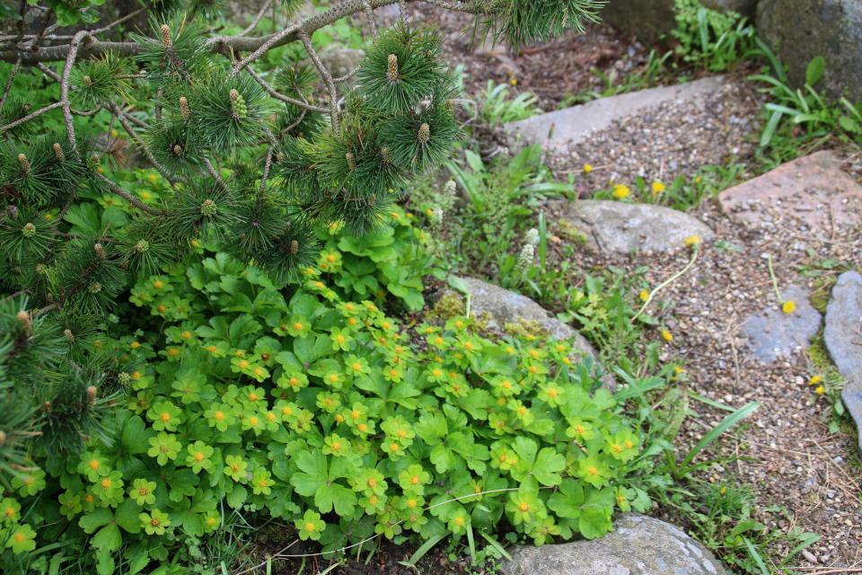 Звездовка эпипактисв ботаническом саду г. Орхус, Дания. Фото 18 мая 2021