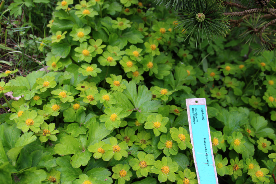 Звездовка эпипактис в ботаническом саду г. Орхус, Дания. Фото 18 мая 2021