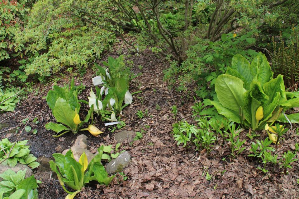 Лизихитон камчатский и лизихитон американский. Ботанический сад Орхус 18 мая 2021, Дания