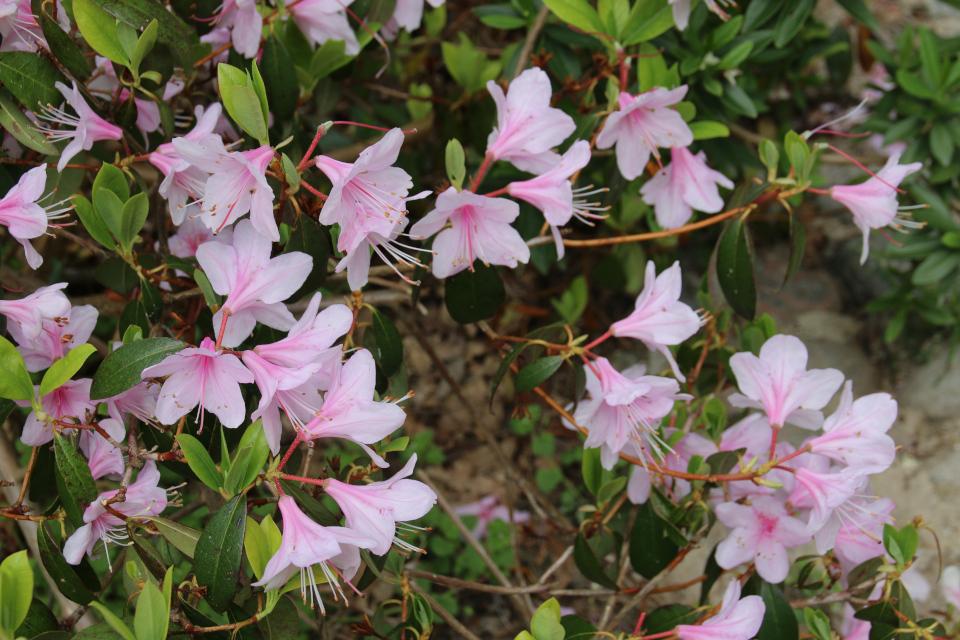 Рододендрон юньнаньский. Ботанический сад Орхус 18 мая 2021, Дания