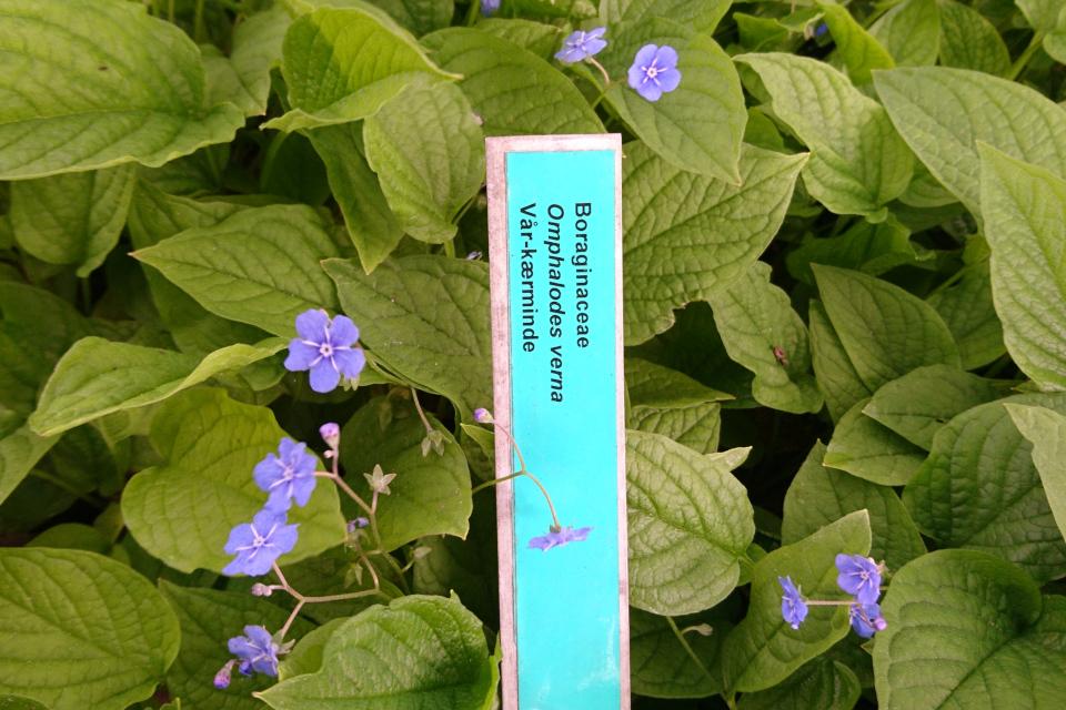 Пупочник. Ботанический сад Орхус, 18 мая 2021, Дания