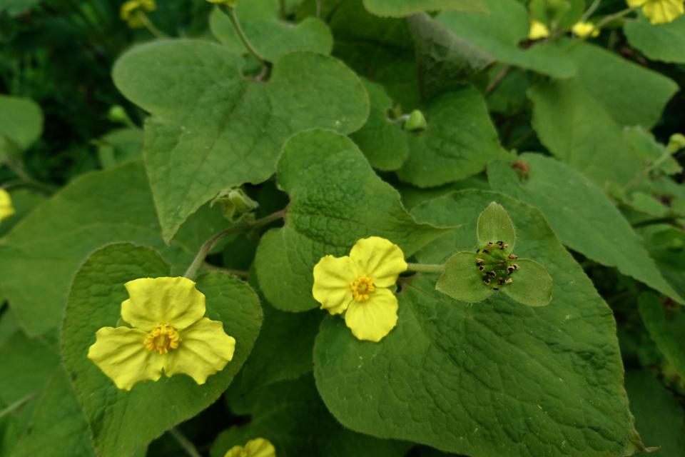 Цветы растения Сарума Генри. Ботанический сад г. Орхус, Дания. Фото 18 мая 2021