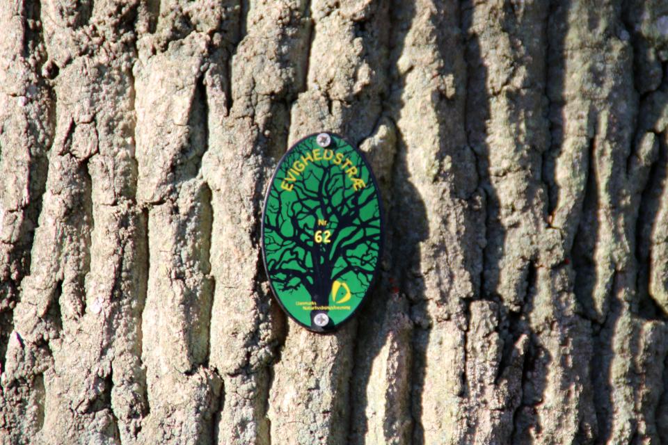 Дуб женщин - дерево вечности. Фото 9 мар. 2021, г. Рандлев, Дания