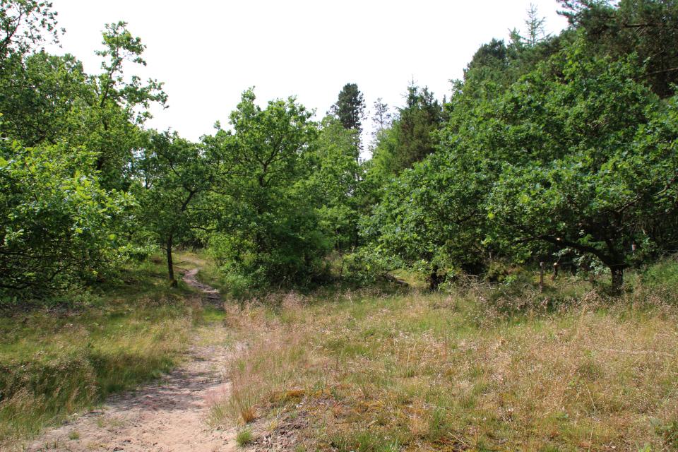 Айструп, дубовый лес (Ajstrup). Фото 29 июн. 2021