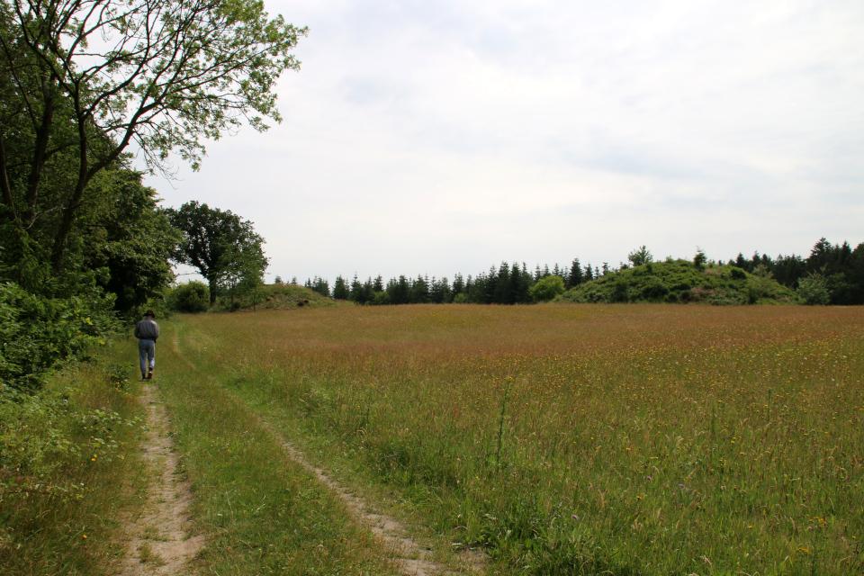 Курганы Ханэхой (Hanehøj gravhøje), Дания. Фото 29 июн. 2021