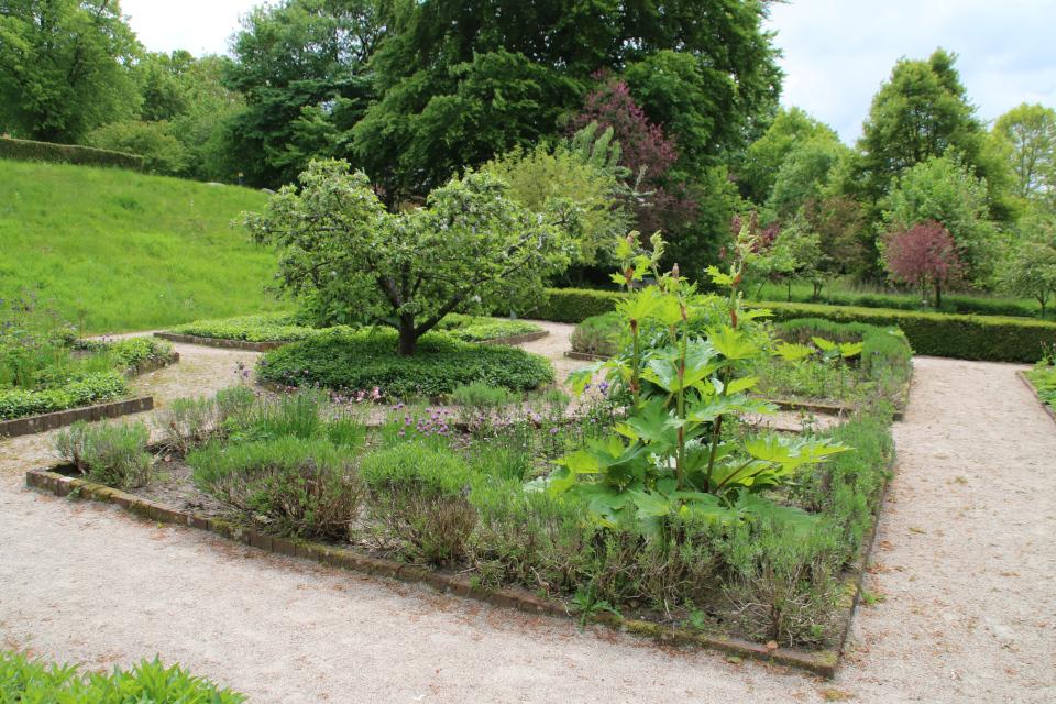 Ревень. Фото 2 июн. 2021, монастырский сад Асмильд, г. Виборг, Дания