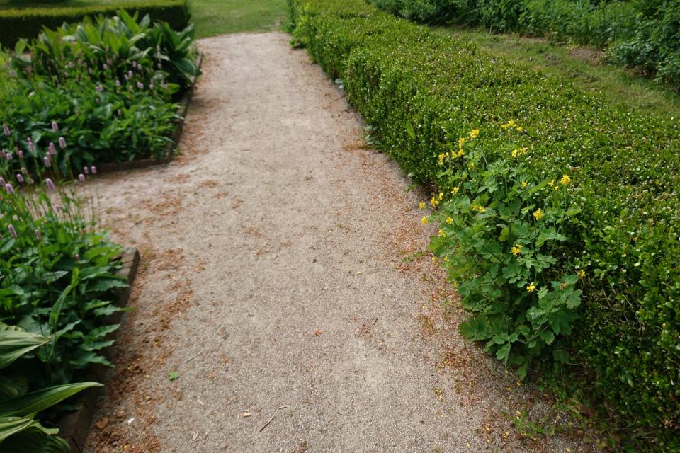 Чистотел большой пророс в зеленой ограде из самшита. Фото 2 июн. 2021, монастырский сад Асмильд, г. Виборг, Дания