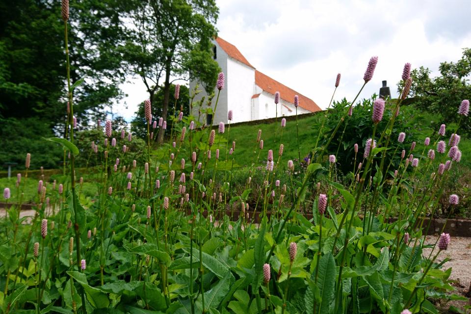 Змеевик большой в цвету. Фото 2 июн. 2021, монастырский сад Асмильд, г. Виборг, Дания