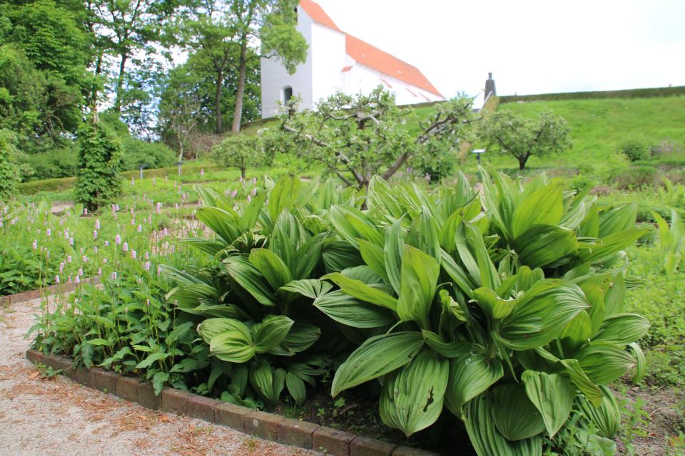 Чемерица белая. Фото 2 июн. 2021, монастырский сад Асмильд, г. Виборг, Дания