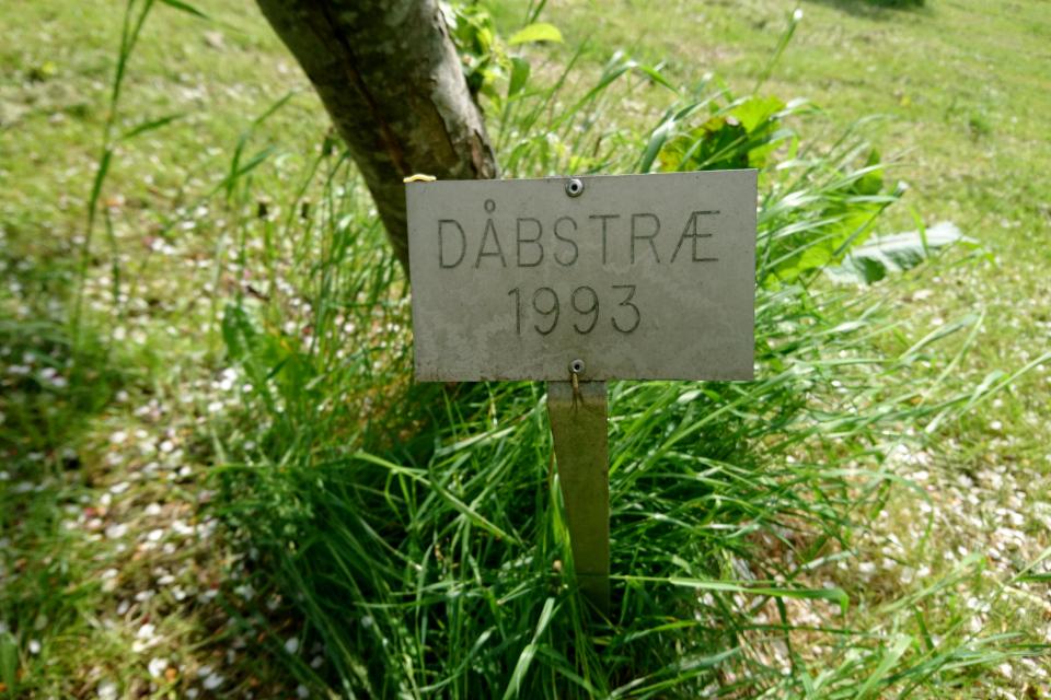 Крещеное дерево-яблоня 1993 г. в монастырском саду Асмильд. Фото 2 июн. 2021, г. Виборг, Дания