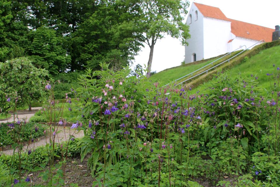 Водосбор обыкновенный. Фото 2 июн. 2021, монастырский сад Асмильд, г. Виборг, Дания