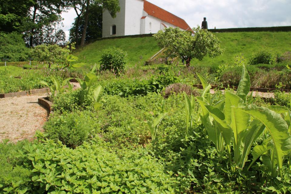 Душица и девясил высокий. Фото 2 июн. 2021, монастырский сад Асмильд, г. Виборг, Дания