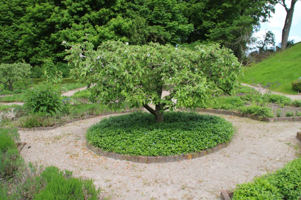 Барвинок малый. Фото 2 июн. 2021, монастырский сад Асмильд, г. Виборг, Дания
