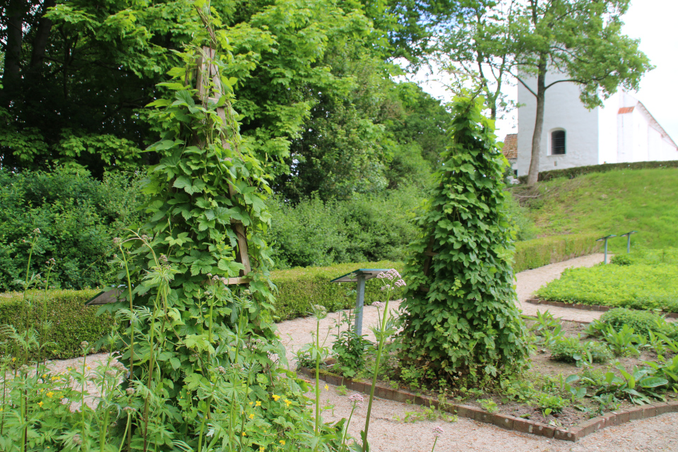 Хмель обыкновенный. Фото 2 июн. 2021, монастырский сад Асмильд, г. Виборг, Дания