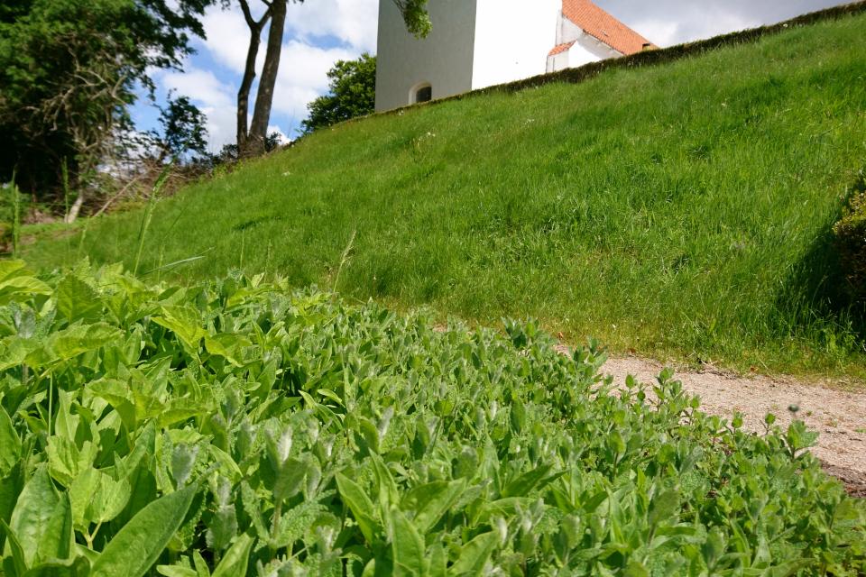 Мята душистая и мыльнянка. Фото 2 июн. 2021, монастырский сад Асмильд, г. Виборг, Дания