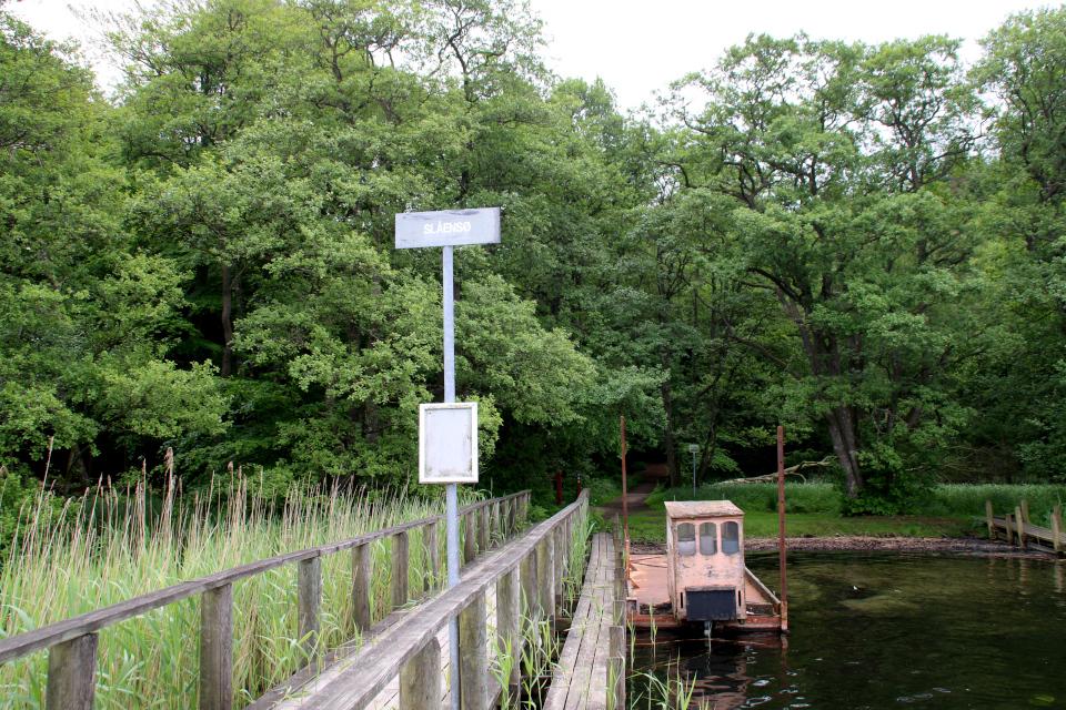 Тростник обыкновенный (дат. Tagrør, лат. Phragmites australis). Озеро Борре, Borre Sø, Дания. 11 июн. 2021