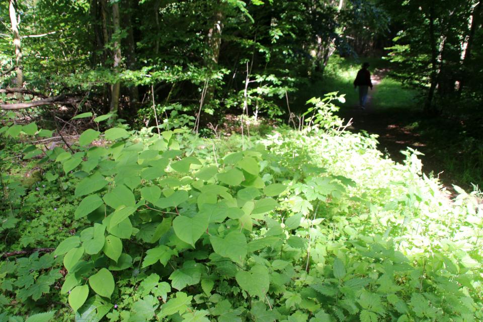 Рейнутрия японская (дат. Japanpileurt, лат. Reynoutria japonica). Холм Бинес Коль (Bines Kol), Дания. Фото 16 июн. 2021