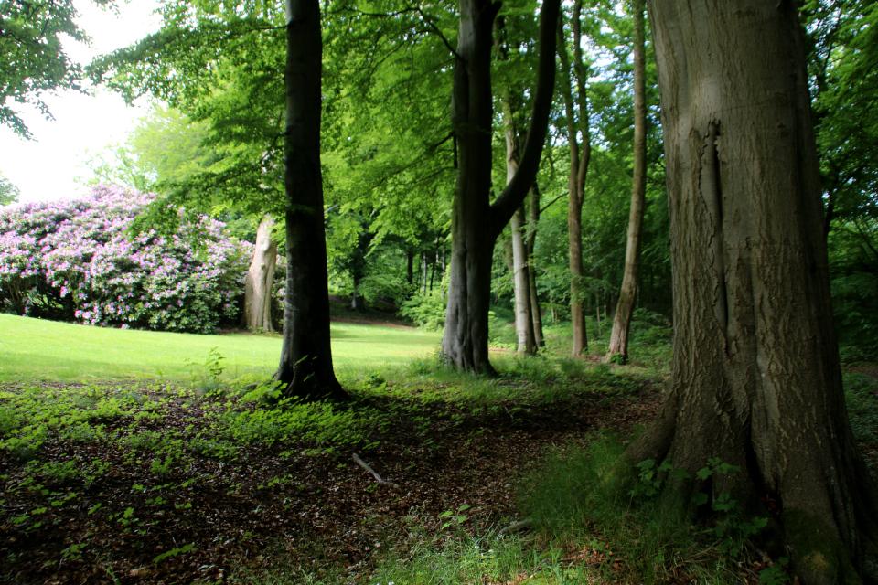 Старая лесная ограда с буком, пораженным молнией, в лесу Марселисборг, г. Орхус, Дания. Фото 5 июн. 2021