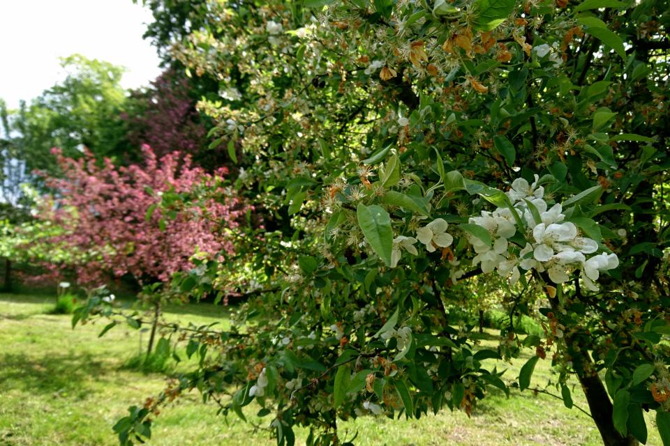 Цветущие и отцветающие яблони. Фото 2 июн. 2021, монастырский сад Асмильд, г. Виборг, Дания