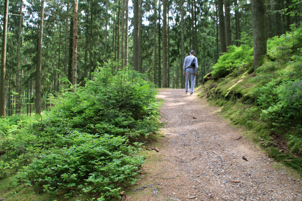 Еловый лес, черника. Скамейка Андерсена Слоэнсё Дания, H.C. Andersens bænk. 11 июн. 2021