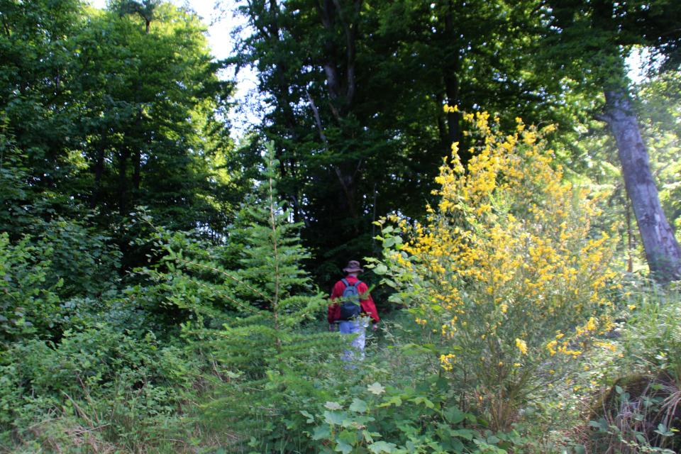 Ракитник венечный (дат. Gyvel, лат. Cytisus scoparius). Холм Бинес Коль (Bines Kol), Дания. Фото 6 июн. 2021