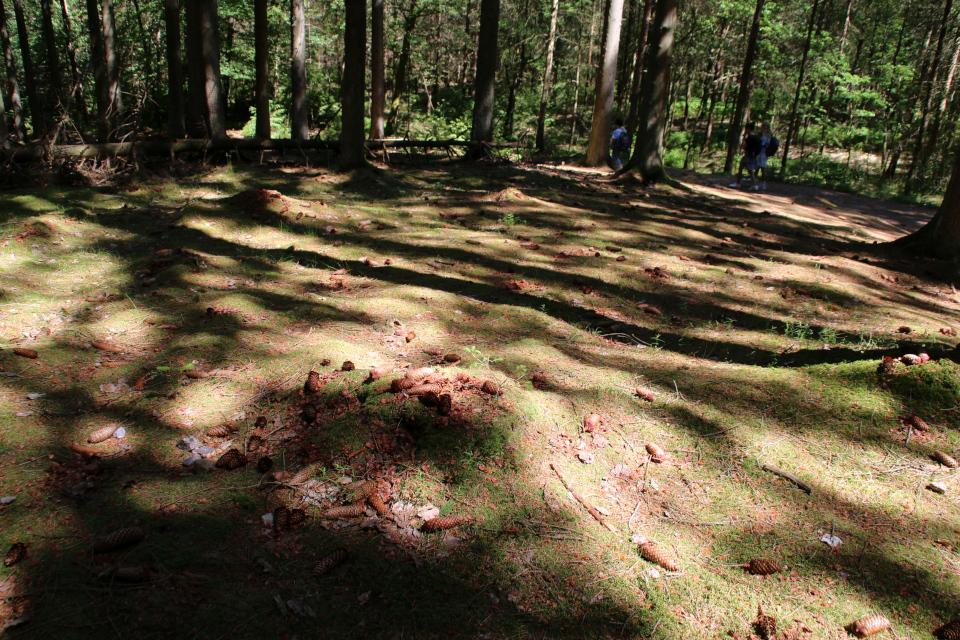 Ель обыкновенная (дат. Rødgran, лат. Picea abies). Лес Химмельберг (Himmelbjerget), Рю, Дания. 16 июн. 2021