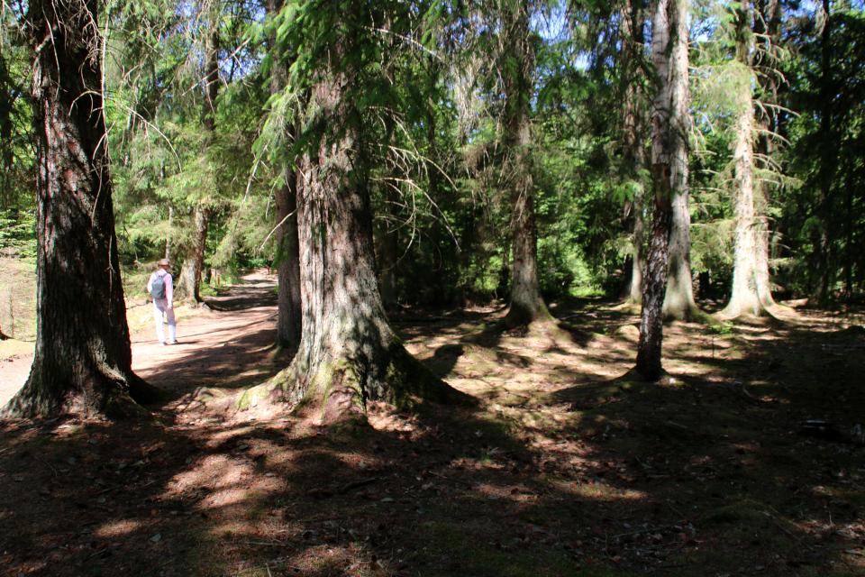 Ситхинская ель (дат. Sitkagran, лат. Picea sitchensis).Лес Химмельберг (Himmelbjerget), Рю, Дания. 16 июн. 2021