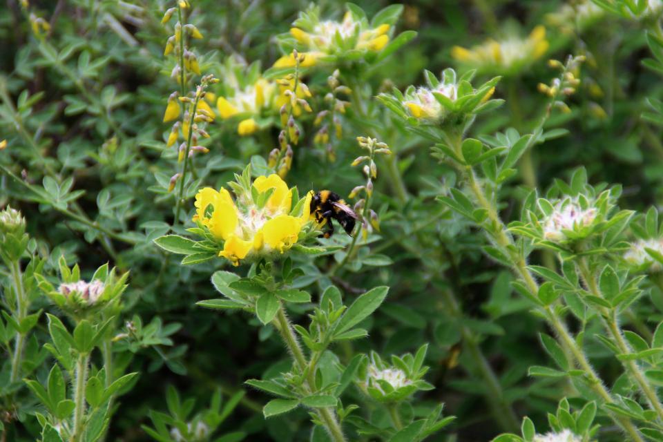 Цветы ракитника волосистого. Ботанический сад Орхус 23 июня 2021, Дания