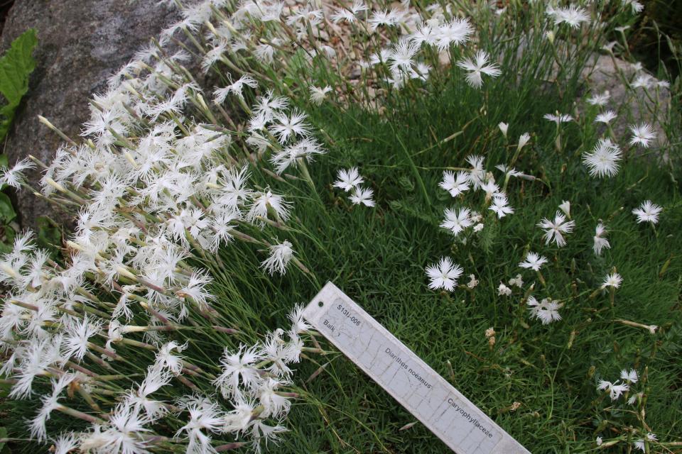 Гвоздика Ноэ (лат. Dianthus petraeus ssp. noeanus). Ботанический сад Орхус 23 июня 2021, Дания