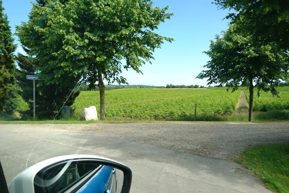 Плантация датские елки. Дорога к Химмельбьерг, Дания. Фото 16 июн. 2021
