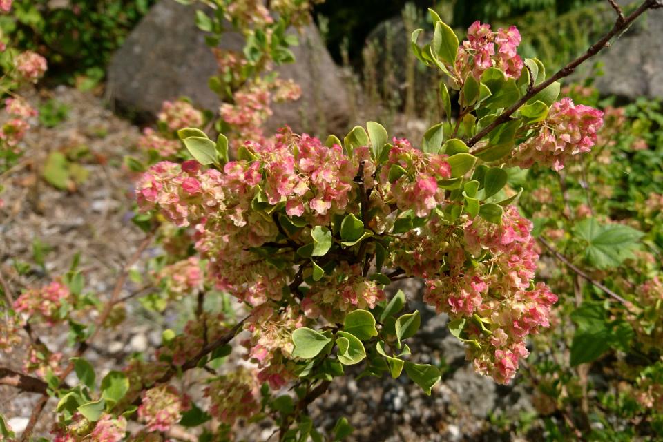 Polygonum hookeri. Ботанический сад Орхус 23 июня 2021, Дания