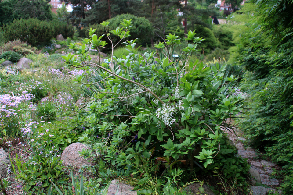 Снежноцвет виргинский. Ботанический сад Орхус 23 июня 2021, Дания